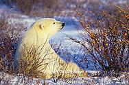 01874-07604 Polar Bear (Ursus maritimus) lying in Willows  Churchill  MB