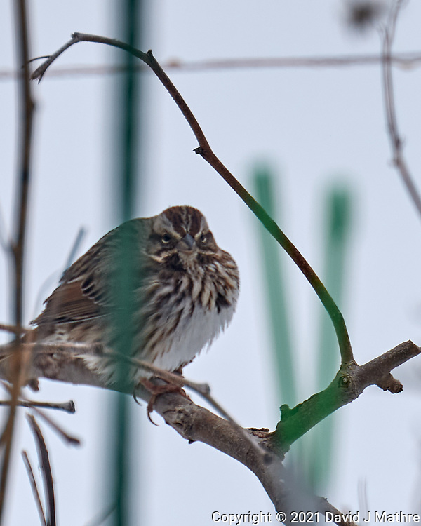 Song Sparrow (Melospiza melodia). Image taken with a Leica SL2 camera and 90-280 mm lens.