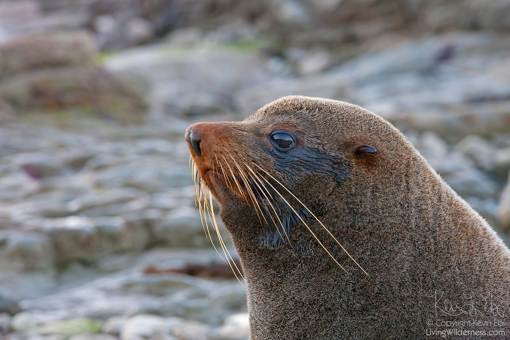 A New Zealand fur seal (Arctocephalus forsteri) rests on the rocks on the coast of the South Island of New Zealand near Kaikoura. The New Zealand fur seal is also known as the southern fur seal, and as kekeno in the Māori language.