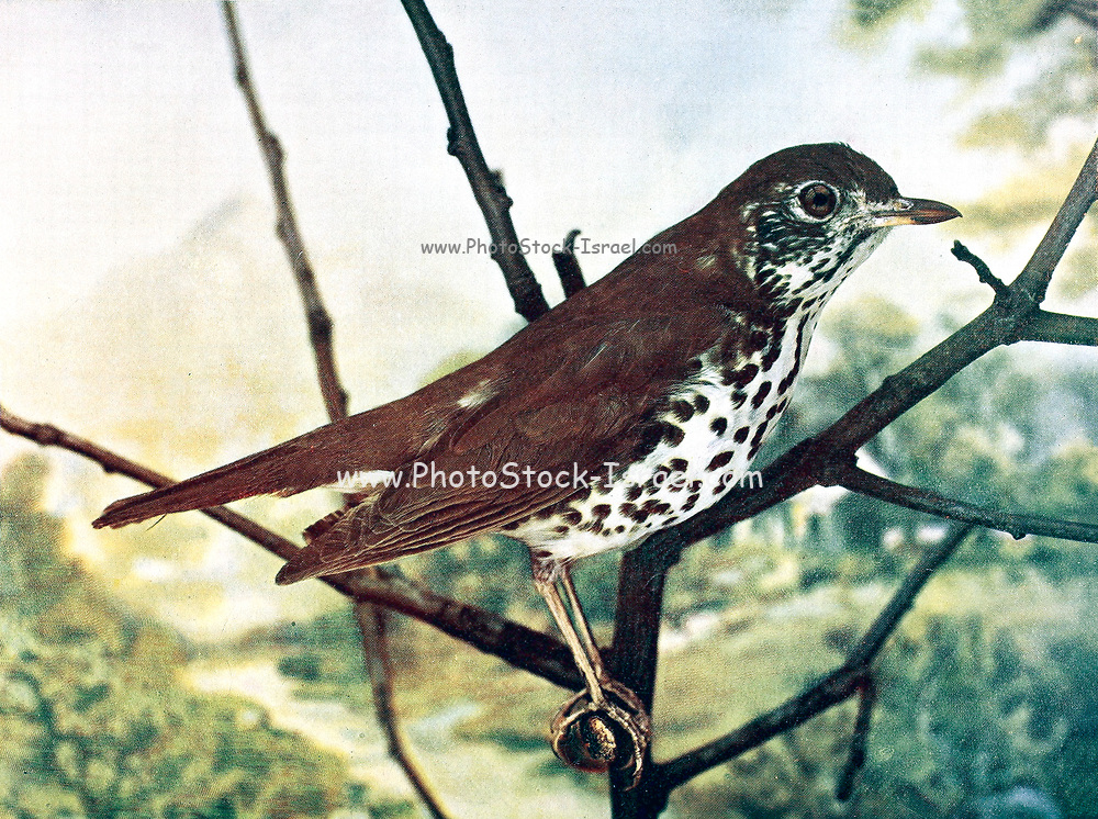 The wood thrush (Hylocichla mustelina [Here as Turdus mustelina]) is a North American passerine bird. It is closely related to other thrushes such as the American robin and is widely distributed across North America, wintering in Central America and southern Mexico. The wood thrush is the official bird of the District of Columbia. From Birds : illustrated by color photography : a monthly serial. Knowledge of Bird-life Vol 1 No 5 May 1897