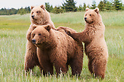 A Brown or Grizzly Bear sow with cubs, Lake Clark National Park, Alaska.