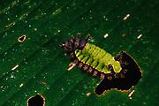Shag Moth Caterpillar<br />Acharia sp.<br />Amazon, Rain Forest, Manu National Park. PERU. South America