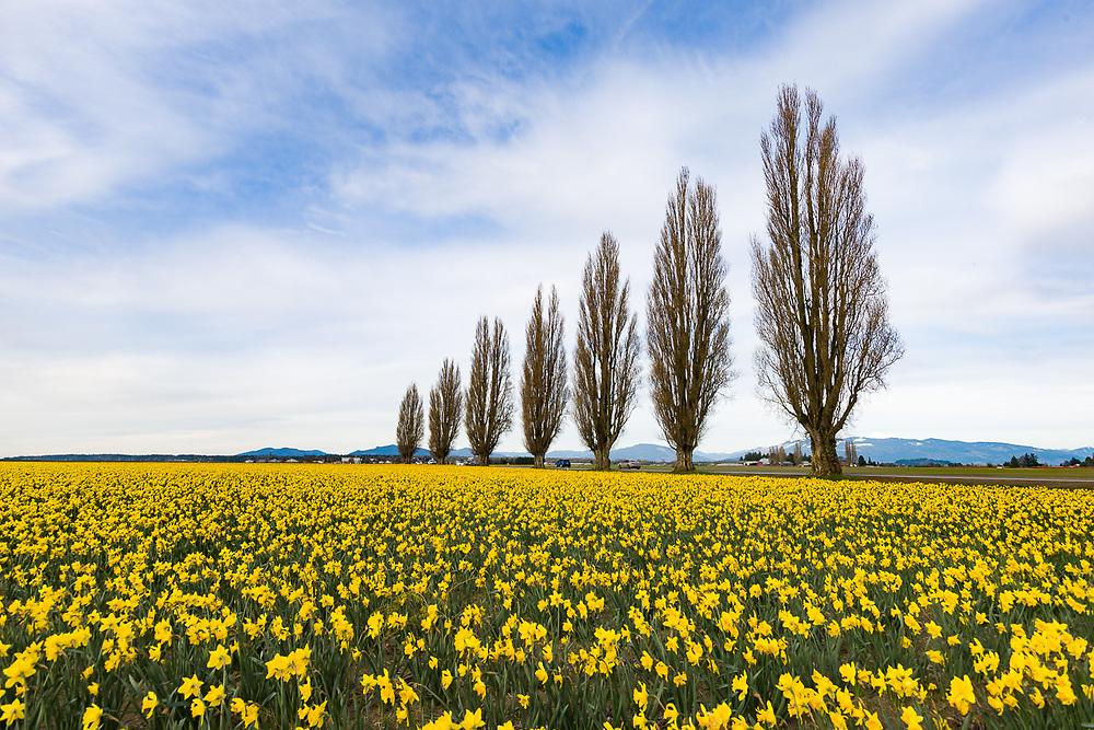 Daffodil field, March, Skagit County, WA, USA