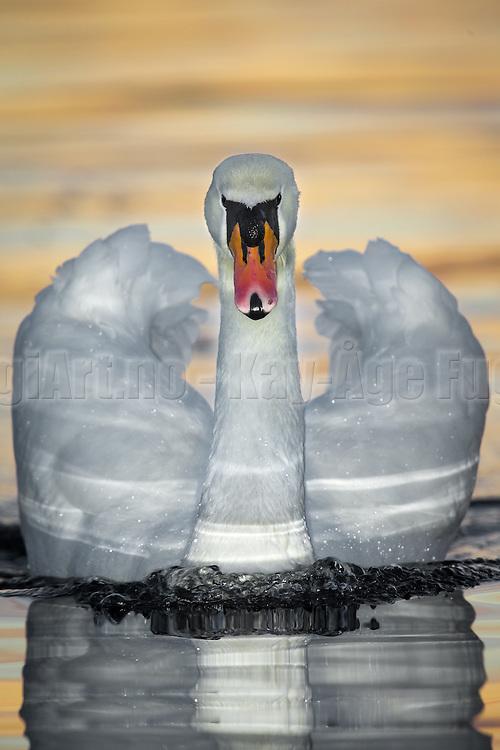 Mute Swan swimming in the sea, with reflections and sunrays   Knoppsvane som svømmer i sjøen, med refleksjon og solstråler.