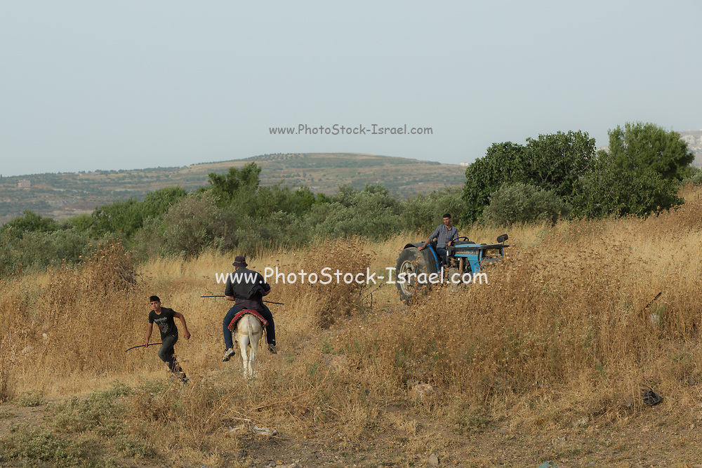 Palestinian residents in a stony field infested with dry weeds and thorns Photographed in the West Bank near Gidi Junction Palestine / Israel