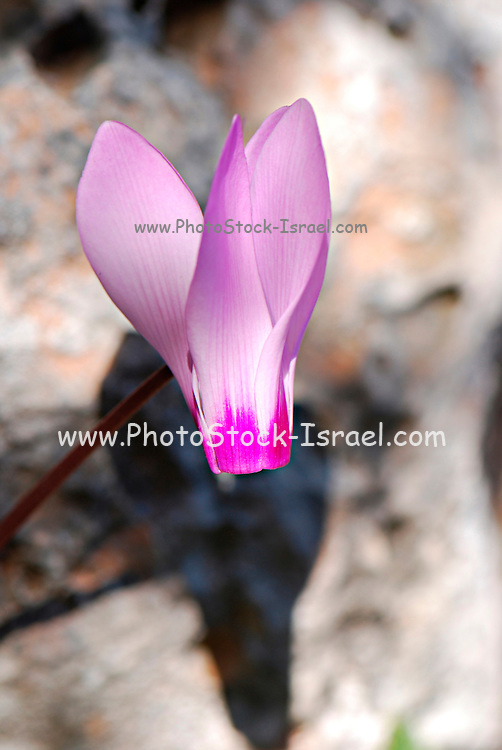 close up of a Persian Violet Cyclamen persicum