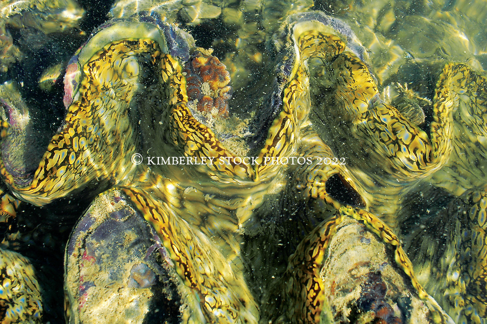 Fabulous patterns on the mantle of a Giant Clam (Tridacna sp.) on Turtle Reef in Talbot Bay.