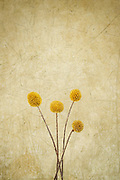 I photographed these lovely Craspedia flowers because of their beautiful and vibrant yellow color. The stalks are naturally curved to create a nice centerpiece alone or in a vase with other flowers. Adding a gold textured background gives it a rustic, almost Tuscan feel. The negative space above gives it a unique composition and draws your eyes to the flowers right away. Photographed in my studio.
