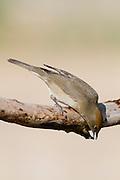 Eurasian Blackcap (Sylvia atricapilla) female on a branch, negev desert, israel