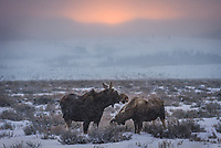 A moose mother and calf graze on a snowy morning while the sun struggles to emerge ahead of an approaching storm. I saw this same pair the day before but wasn't able to get any good shots, so I came back the next morning. This time they were a lot closer, and crossed the highway right in front of me. The deep snow hides their true height. When the mother stood up on the road I found myself staring at a creature taller than myself. The calf is a male, which is apparent from the antler stumps above his eyes. Moose will eat up to 60 pounds of food a day, although it's a lot harder for them in the winter. Just before the snow started coming down heavier, I was able to position myself to capture the sunrise glow above their heads. Wildlife is said to be more active during bad weather, and that was certainly true on this morning. Before leaving Grand Teton National Park I had spotted 8 moose, countless elk and bison, and even a lone wolf.