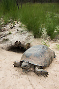 Gopher Tortoise (Gopherus polyphemus) at burrow entrance<br /> The Orianne Indigo Snake Preserve<br /> Telfair County. Georgia<br /> USA<br /> Threatened species in Georgia<br /> HABITAT & RANGE: Longleaf pine & oak forests & sandhills & areas of good ground cover. Southeast USA