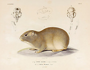 Southern mountain cavy (Microcavia australis [Here as Cavia australis]) is a species of South American rodent in the family Caviidae. hand coloured sketched From the book 'Voyage dans l'Amérique Méridionale' [Journey to South America: (Brazil, the eastern republic of Uruguay, the Argentine Republic, Patagonia, the republic of Chile, the republic of Bolivia, the republic of Peru), executed during the years 1826 - 1833] 4th volume By: Orbigny, Alcide Dessalines d', d'Orbigny, 1802-1857; Montagne, Jean François Camille, 1784-1866; Martius, Karl Friedrich Philipp von, 1794-1868 Published Paris :Chez Pitois-Levrault et c.e ... ;1835-1847