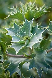 Native sea holly - Eryngium maritimum