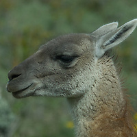 A guanaco (Lama guanicoe) in Torres del  Paine National Park in Patagonia, Chile.