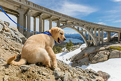 """""""Puppy at Rainbow Bridge 1"""" - Photograph of a Golden Retriever puppy """"Quill"""" at Rainbow Bridge. Donner Lake and Truckee, California can be seen in the distance."""