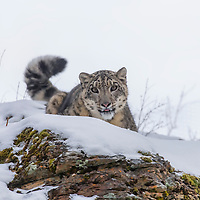 Snow Leopard in a snowy forest hunting for prey.