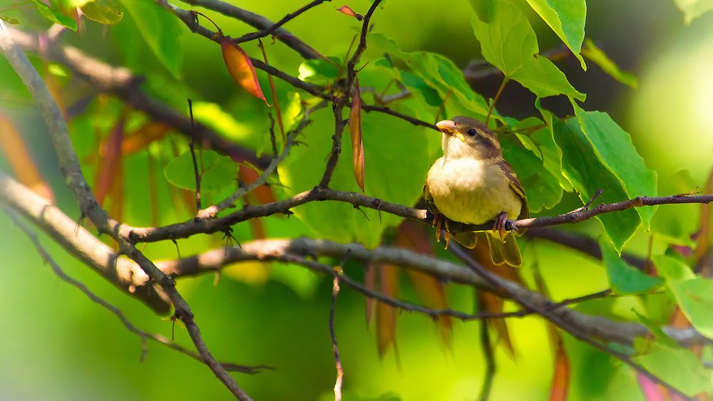 A Female House Sparrow hidden through the vibrant green leaves in a tree.