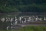 Egrets of 4 species (Great white, Cattle, Little and Intermediate), all together in the Yangtze river at the Hubei Tian'ezhou Milu National Nature Reserve, Shishou, Hubei, China