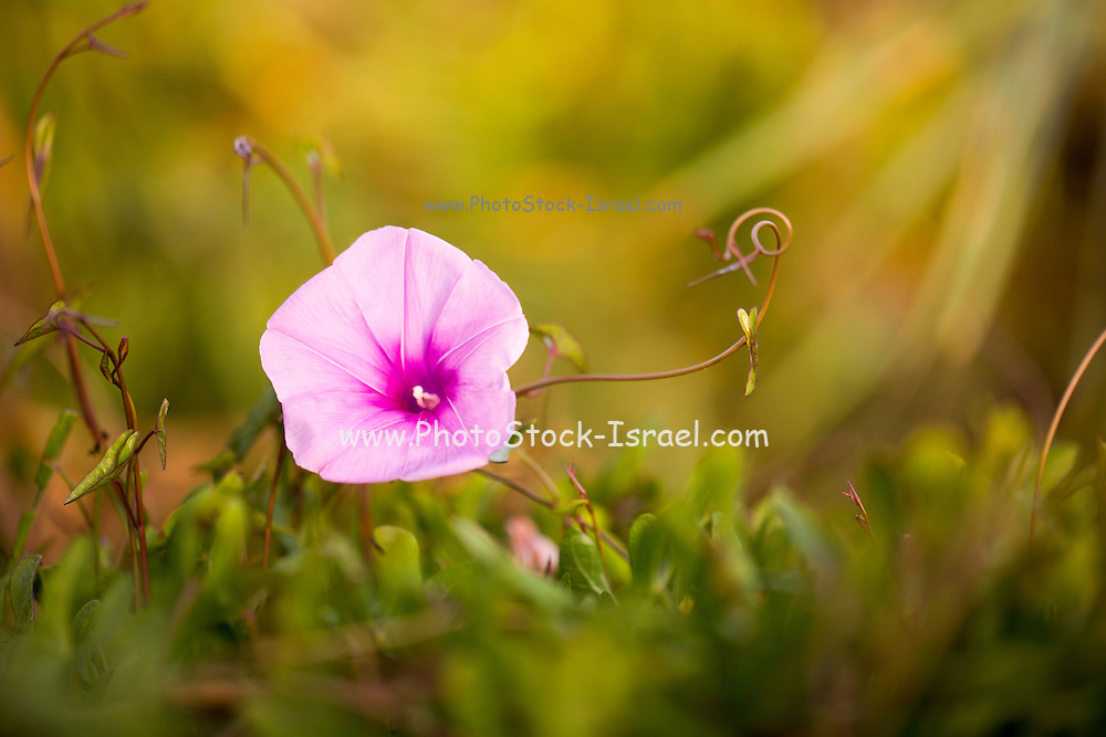 Saltmarsh morning glory flower (Ipomoea sagittata). This climbing plant inhabits coastal regions around the Eastern Mediterranean. In the Americas it is considered an invasive weed, outcompeting other plants in its habitat. Photographed in Ein Afek nature reserve, Israel