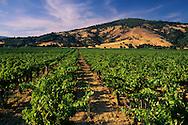 Wine grape vines, Redwood Valley, Mendocino County, California
