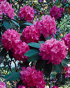 Rhododendron blooming in the TVA town of Norris, Tennessee.