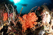 Diver explores a coral reef scape in the remote Cenderawasih Bay, West Papua