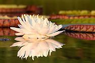 Amazonas-Riesenseerose (Victoria amazonica), Amolargebirge, Pantanal, Brasilien<br /> <br /> Victoria amazonica, Amolar mountains, Pantanal, Brazil