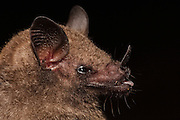 Common Long-tongued Bat (Glossophaga soricina)  CAPTIVE<br /> Karanambu Lodge<br /> Rupununi<br /> GUYANA<br /> South America