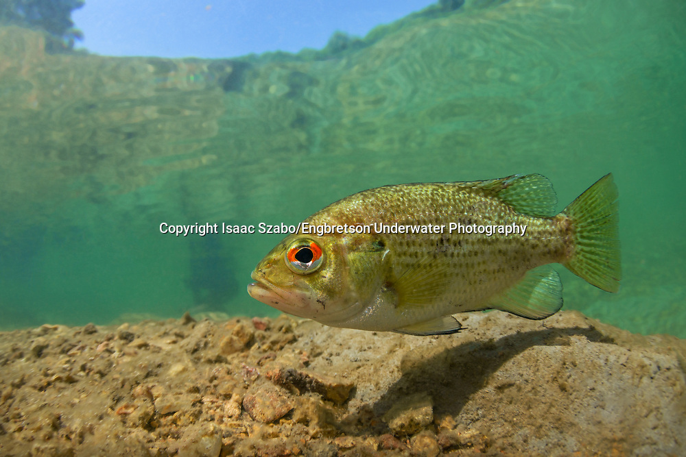 Rock Bass<br /> <br /> Isaac Szabo/Engbretson Underwater Photography