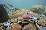 River Chub (building nest)<br /> <br /> Isaac Szabo/Engbretson Underwater Photography