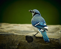 Blue Jay. Image taken with a Nikon D4 camera and 600 mm f/4 VR lens (ISO 280, 600 mm, f/4, 1/800 sec).