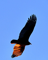Late Afternoon Turkey Vulture in Flight. Image taken with a Fuji X-T3 camera and 200 mm f/2 lens