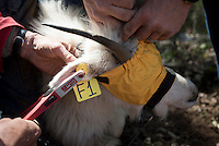 Wyoming Game & Fish biologists apply ear tags to the goat that will help identify it from a distance.