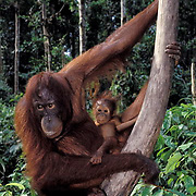 Orangutan, (Pongo pygmaeus) Mother and baby in rain forest. Northern Borneo, Malaysia.  Controlled Conditons.
