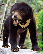 Sunbear specimen at the natural history museum at the Tamoe Zoo in Cambodia.