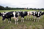 Nederland, Twekkelo, 16-7-2012Jonge koeien, pinken, in de wei.Foto: Flip Franssen/Hollandse Hoogte