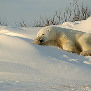 Polar Bear (Ursus maritimus) Large male rests along the shores of Hudson Bay at Cape Churchill, waiting for the ice to freeze. Near Churchill, Manitoba. Canada. Winter.