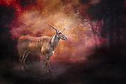 Eland antelope in Arusha National Park in Tanzania