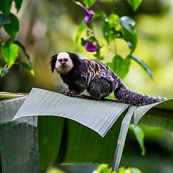 Sagui-de-cara-branca (Callithrix geoffroyi) fotografado na Reserva Biológica de Sooretama em Linhares, Espírito Santo, Brasil. Registro feito em 2013 <br /> <br /> ENGLISH: White-headed marmoset photographed in Sooretama Biological Reserve in Linhares, Espírito Santo, Brazil. Picture made in 2013.