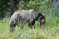 """This Grizzly bear caused a massive """"Bear Jam"""" along the highway in the Tower Falls area of Yellowstone.  It took us over 20 minutes to get through the area as the tourists all stopped to take pictures as this beautiful bear enjoyed a snack on the side of the road.<br /> <br /> ©2009, Sean Phillips<br /> http://www.Sean-Phillips.com"""