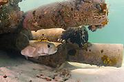 Porcupinefish (Diodon hystrix)<br /> under Dock<br /> San Pedro<br /> Ambergris Caye<br /> Belize<br /> Central America