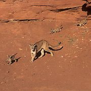 Mountain Lion or Cougar, (Felis concolor) Mother and cubs in canyonlands of southern Utah. Red rock country.  Captive Animal.