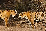 Two Bengal tigers greeting (Panthera tigris tigris), Ranthambhore National Park, Rajasthan, India,