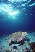 loggerhead sea turtle, Caretta caretta, Bahamas ( Western Atlantic Ocean )