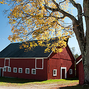 Red barn with white trim, old sugar maple with yellow fall leaves
