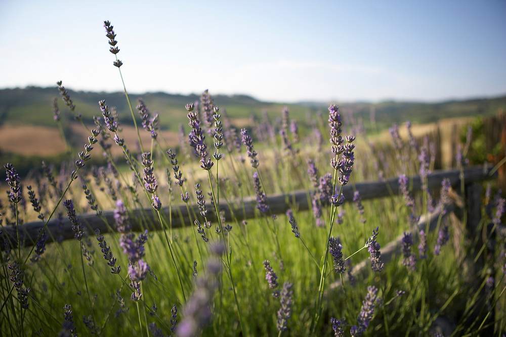 Close up of lavender plants in Tuscan countryside with farms and fields, Italy