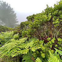 Ferns thrive in a foggy forest near Half Moon Bay, California.