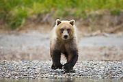 A coastal brown bear ( Ursus arctos ) walking on approach , morning, Katmai Peninsula, Alaska