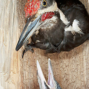 Pileated woodpecker (Dryocopus pileatus) during the summer in Montana. Pileated woodpeckers are the largest woodpecker most commonly seen in North America.