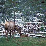 Elk, (Cervus elaphus) cow grooming spring calf in birthing area. Light snow fall on ground. Yellowstone.